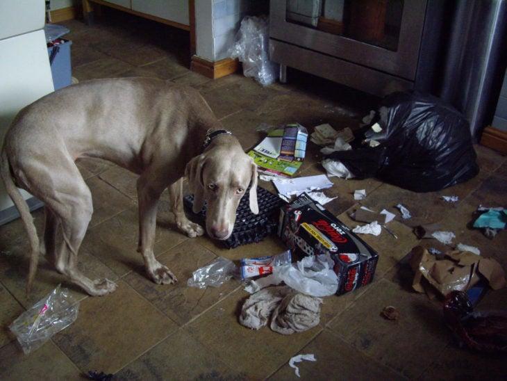 Perro con cara de culpa luego de tirar toda la bolsa de basura