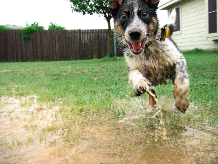 Perro saltando en charcos