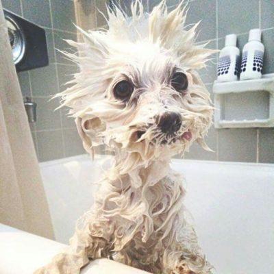 Perro mojado en la bañera
