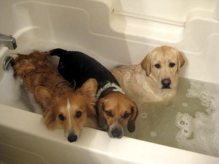 Tres perros en la bañera con cara de enojo, tristeza y sorpresa
