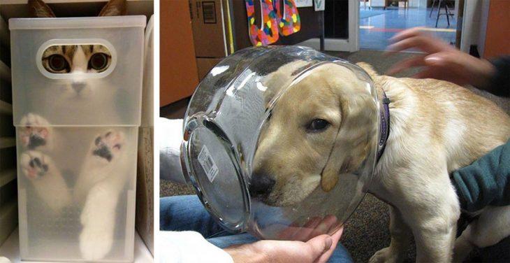 Gato atorado en una caja de plástico; perro atoró su cabeza en una pecera de vidrio