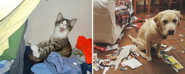Gato sonríe cuando lo sorprenden ensuciando la ropa; perro con cara de arrepentimiento cuando lo descubren rompiendo una revista