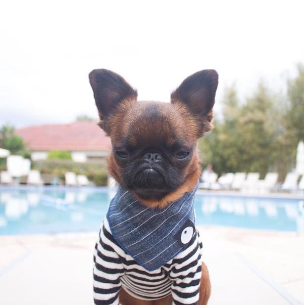 perro con camiseta rayada