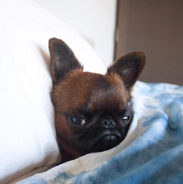 perro en cama con frazada