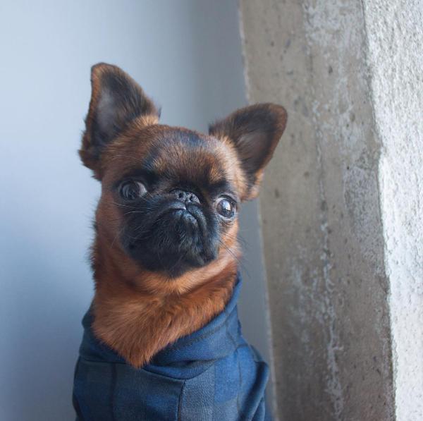 perro con camiseta azul