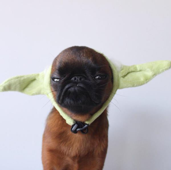 perro con orejas de yoda
