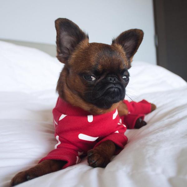 perro con sudadera roja en almohada