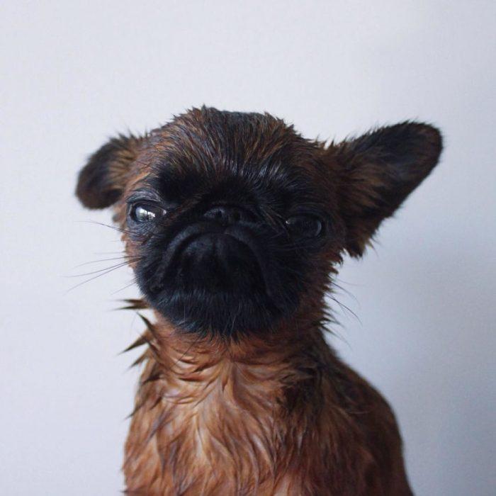 perro mojado con mala cara