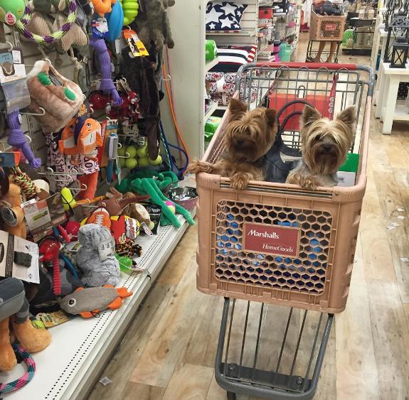 yorkies en el supermercado