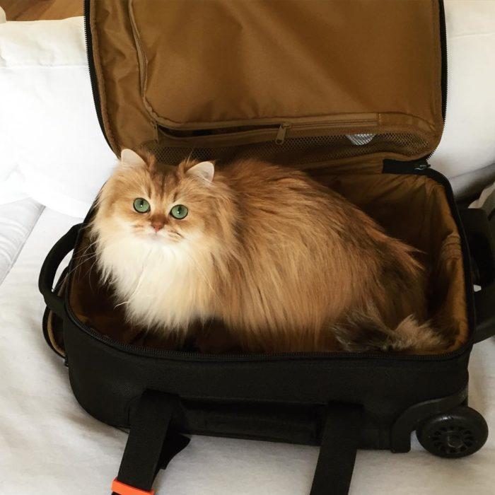 Gato dentro de maleta