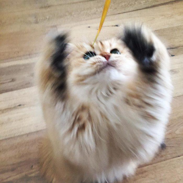 Gato jugando con tira