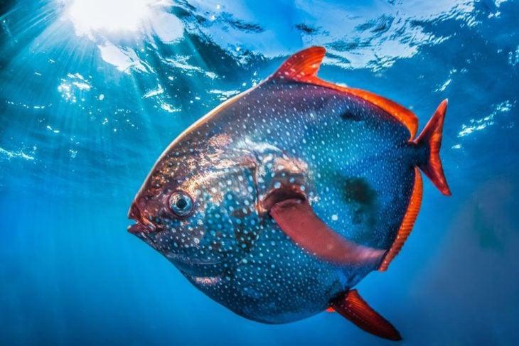 pez globo en forma de luna azul