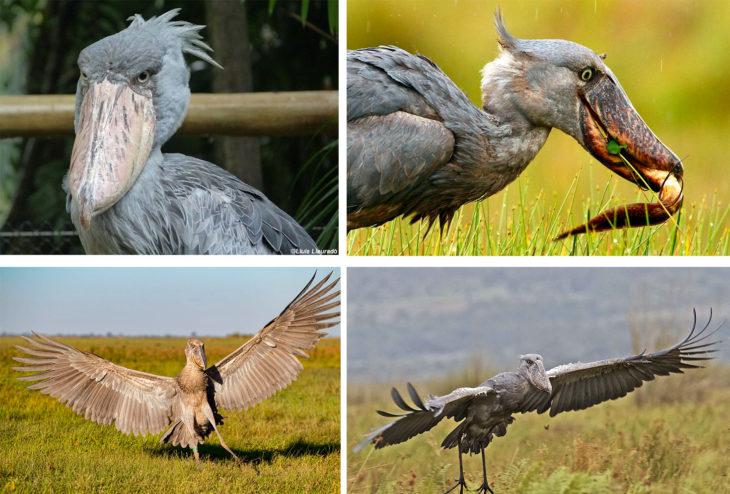 Un hermano del pelicano
