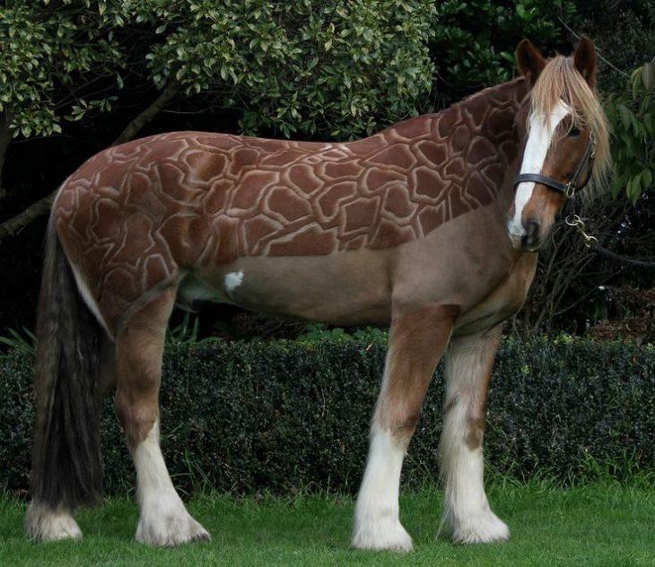 caballo con corte de jirafa