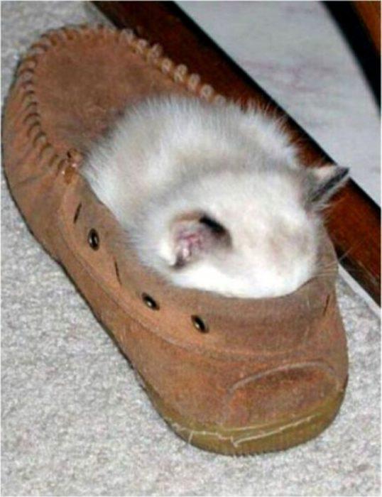 gatito en un zapato