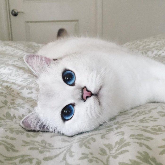 Gato blanco de ojos azules acostado sobre cama