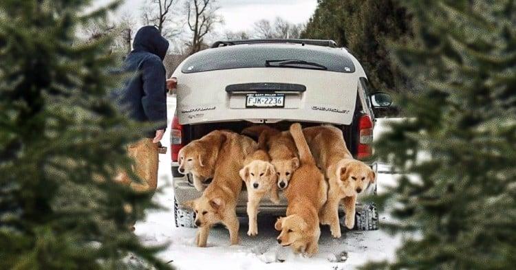 Grupo de perros labrador saliendo de una cajuela