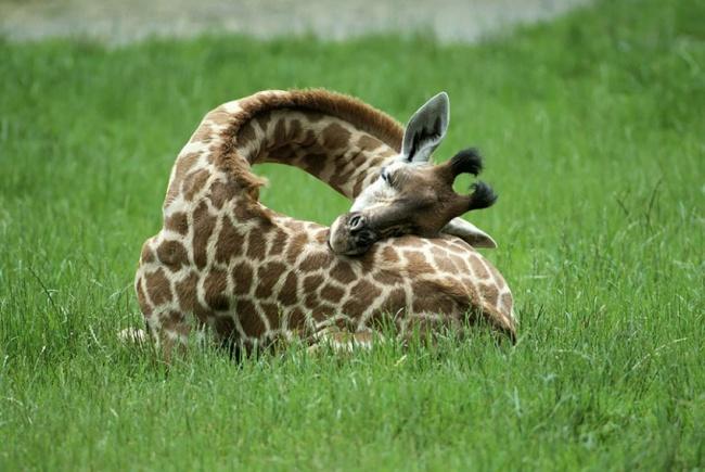 Jirafa descansando en su espalda