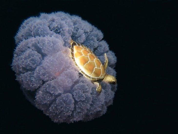 Tortuga sobre medusa