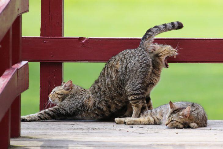 gatos bortezando y restirandose
