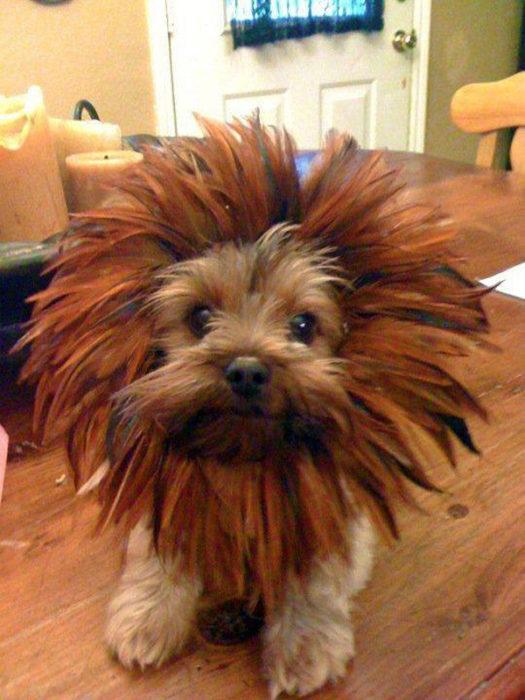 Perrito con disfraz de leon