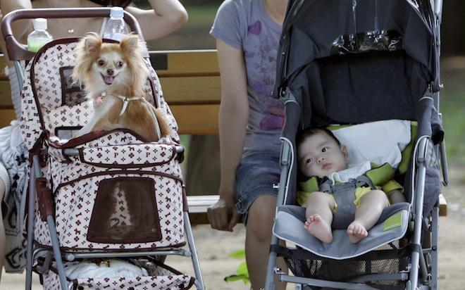 Chihuahua en carreola con bebe en un lado