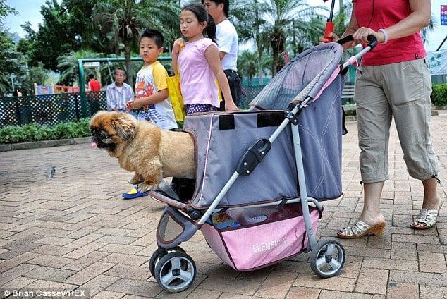 Perro de paseo en carrito