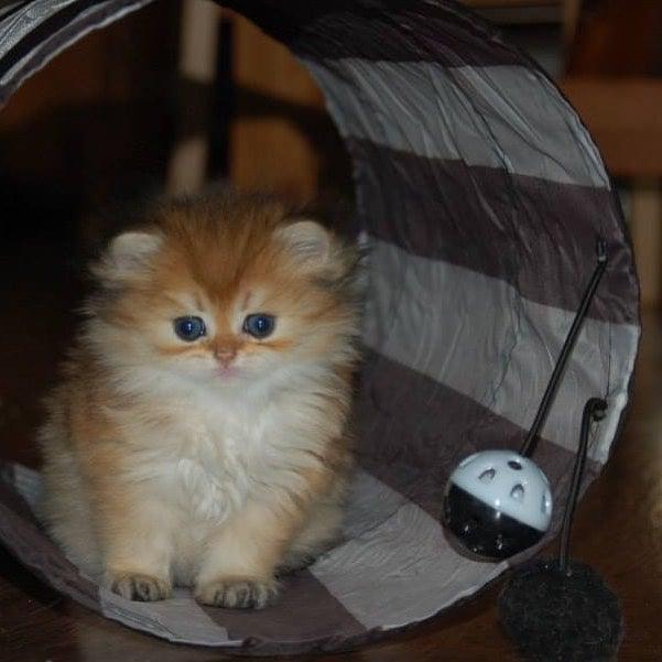 Gato Smothie de bebe