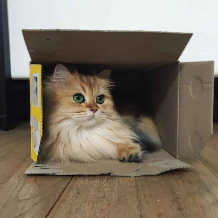 Gato dentro de caja