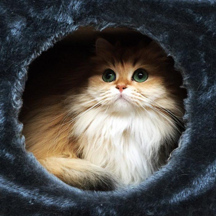 Gato dentro de cama