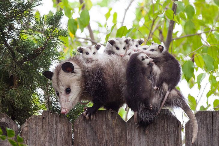 zariguella cargando a sus crías