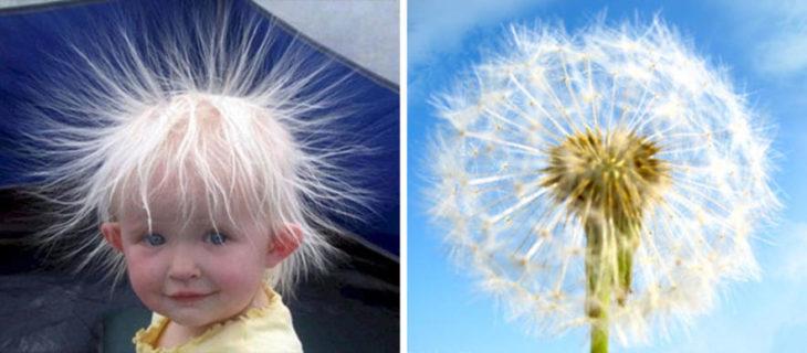 Comparación de cabello de bebé y un diente de león