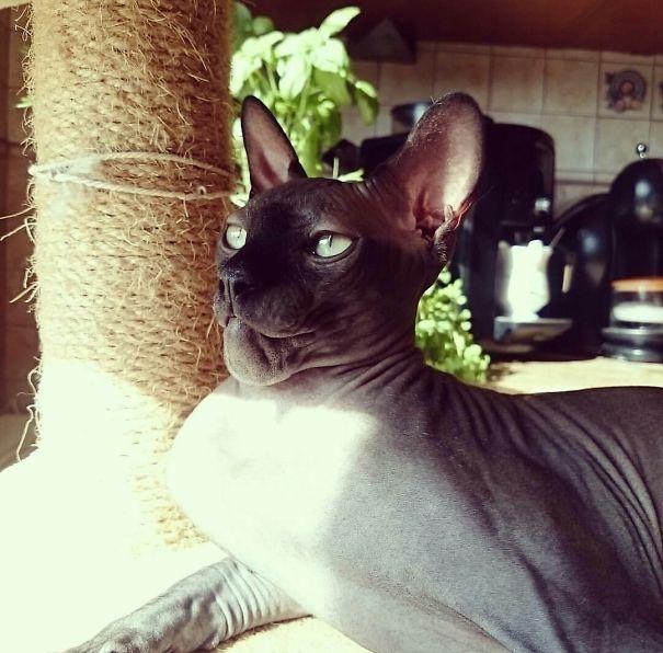 gato arabe inflamado