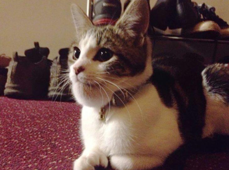 gato blanco hinchado menton
