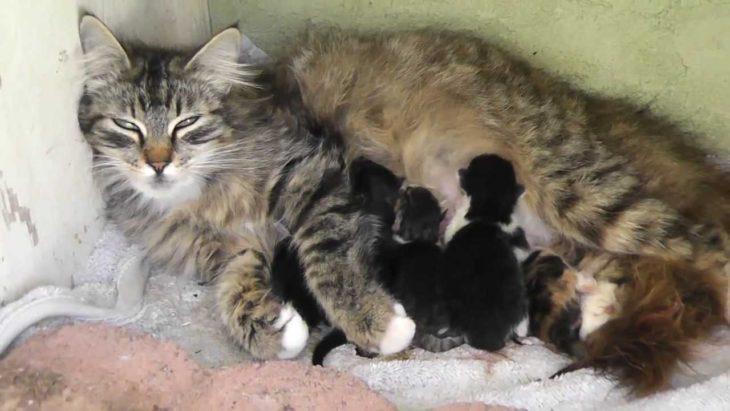 mama gato amamanta a sus hijos