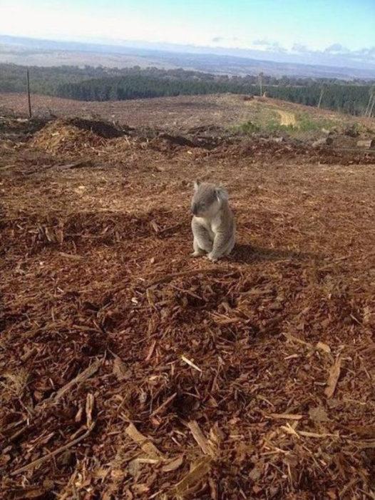koala en devastacion