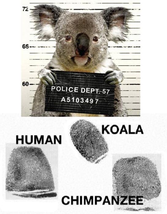 koala arrestado