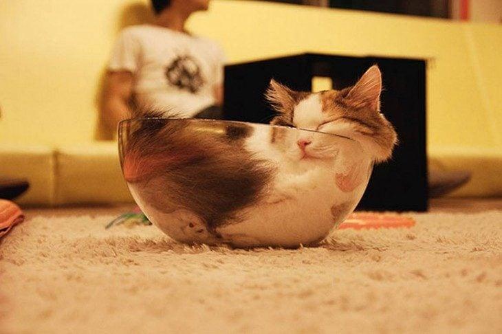 gato dormido en tazón de vidrio