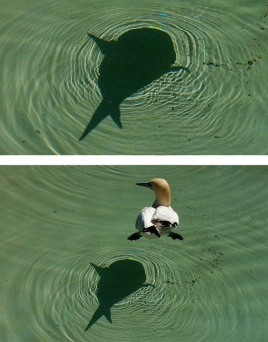Fotos recortadas: La sombra de un tiburón, en la foto completa se ve que es un pato