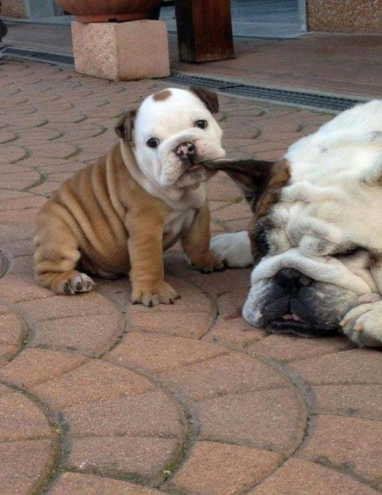 perrito molestando a su mamá
