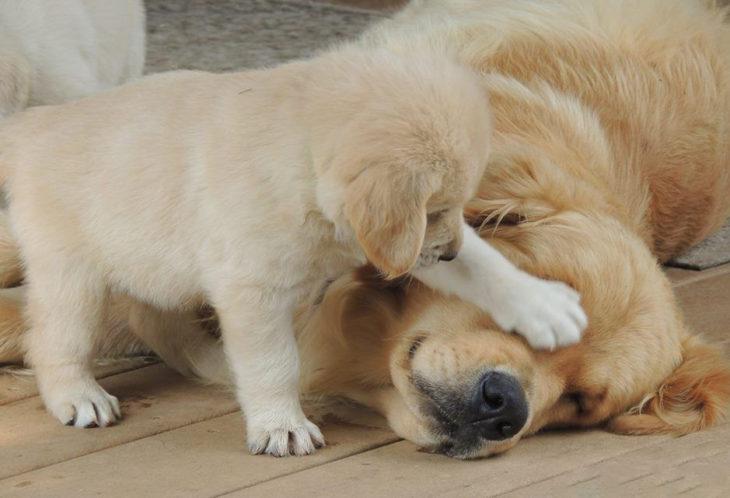 Cachorro molesta a su mamá