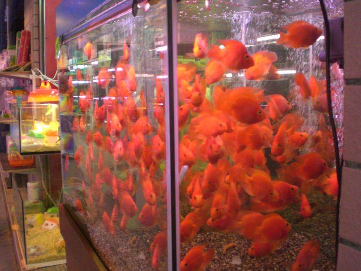 peces dorados en pecera