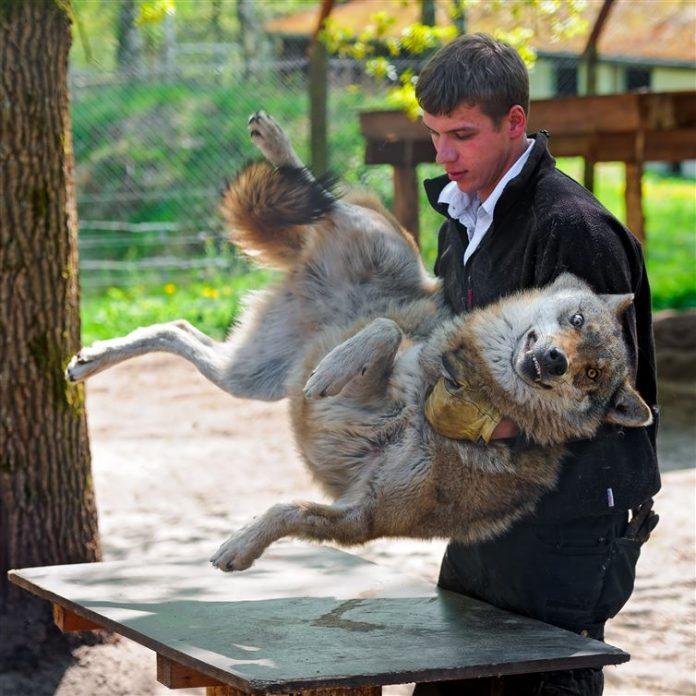 Persona cargando un lobo