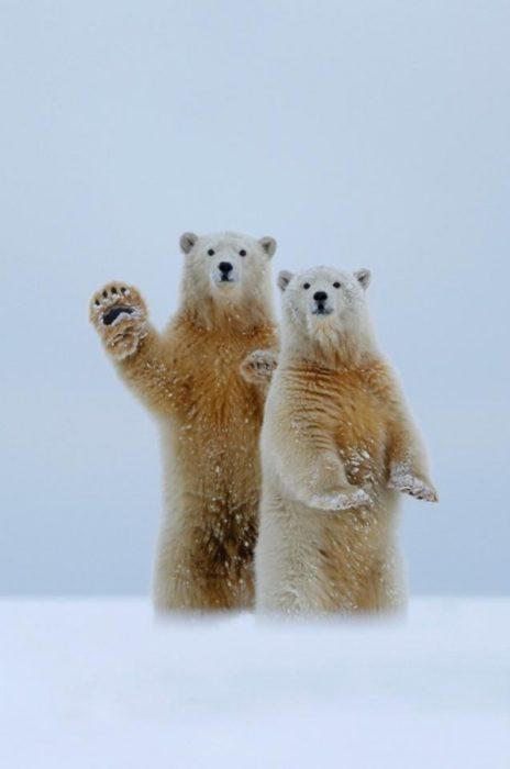 Fotografía de dos osos polares