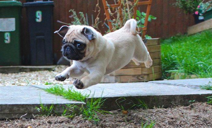 foto de pug cachorro saltando