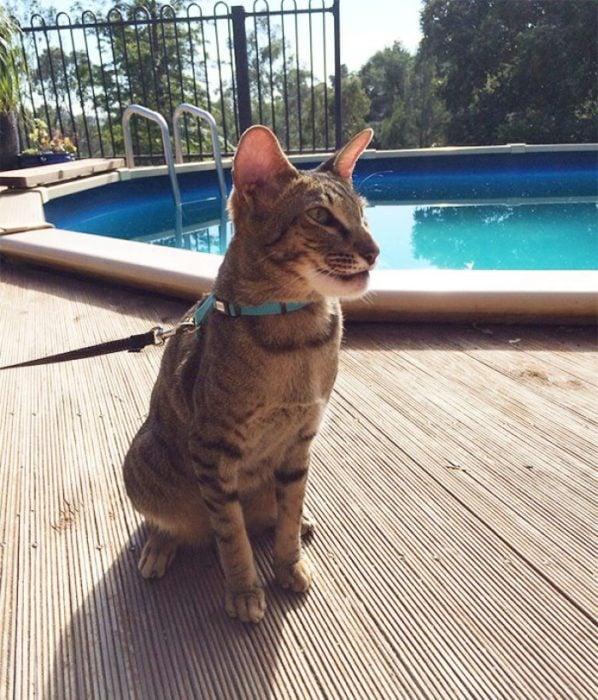 gato inflamado menton