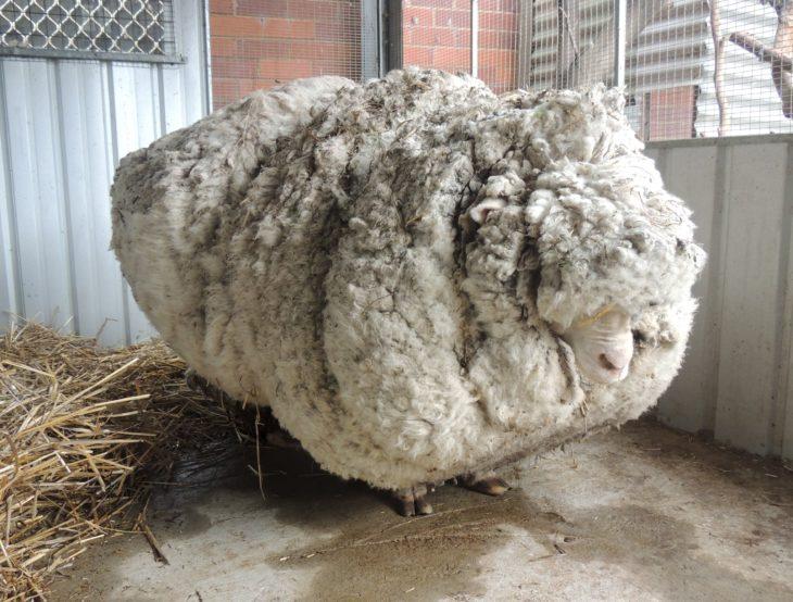 oveja gigante de australia