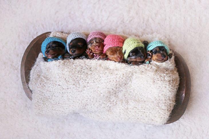 cachorros salchicha recién nacidos