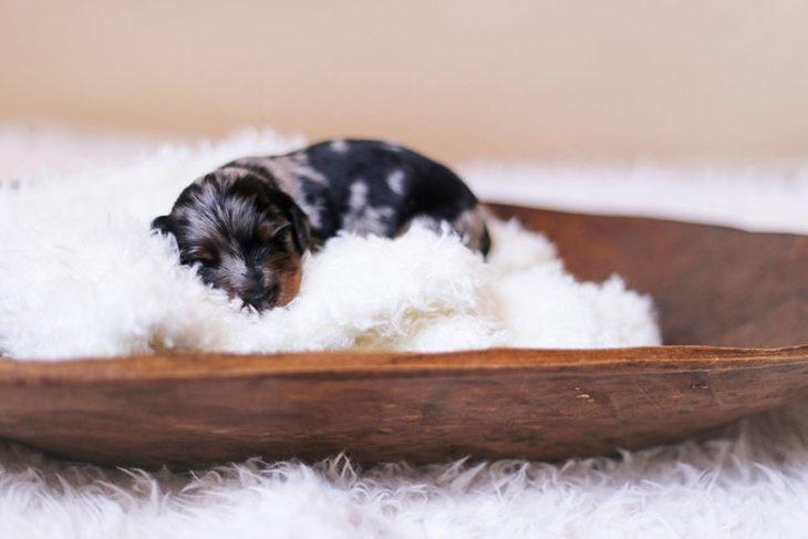 Cachorro salchicha recién nacido