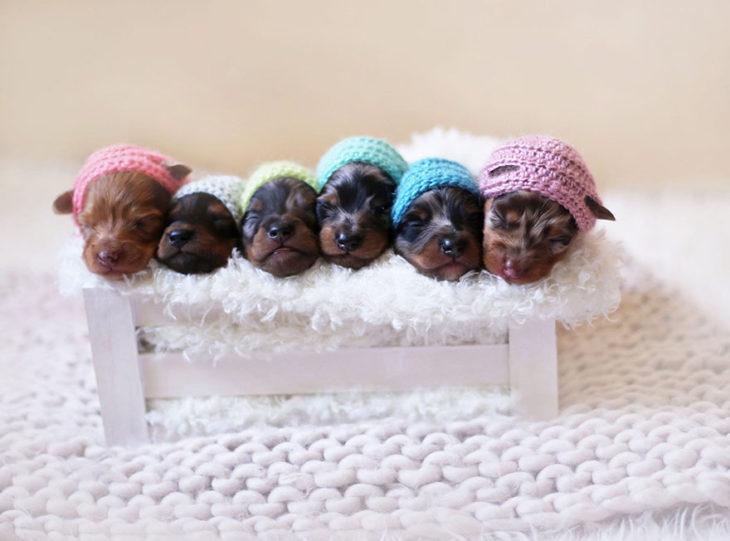 Cachorros salchicha con sombreros de colores
